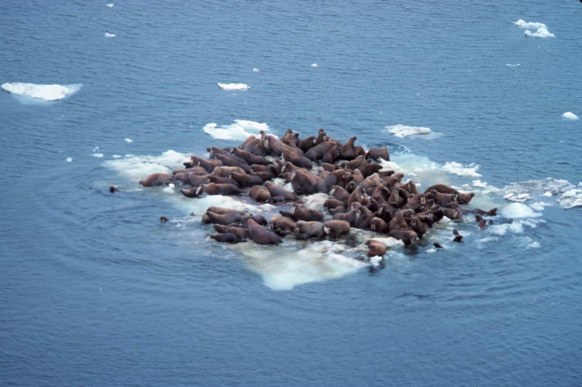 Walruses floating on Bering Sea Ice Alaska; NOAA Captain Budd Christman, public domain