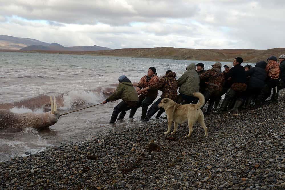 Walrus harvest Chukotka photo © Andrey Shapran used with post about Yuri Rytkheu